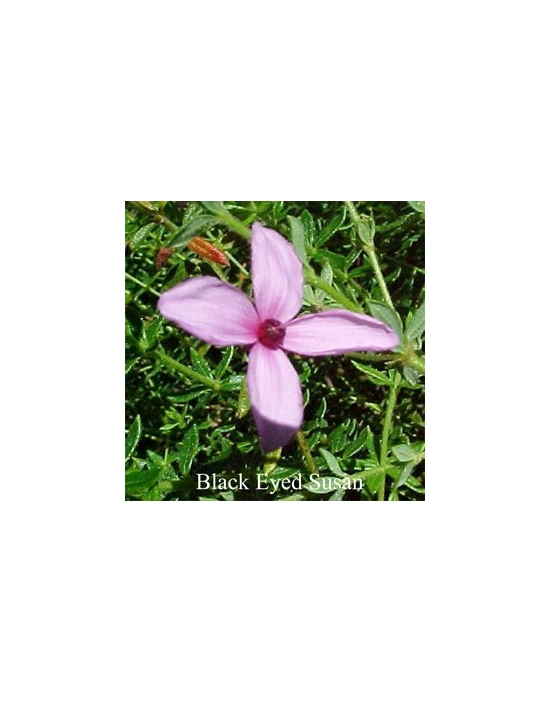 Black Eyed Susan Australische Buschblüten