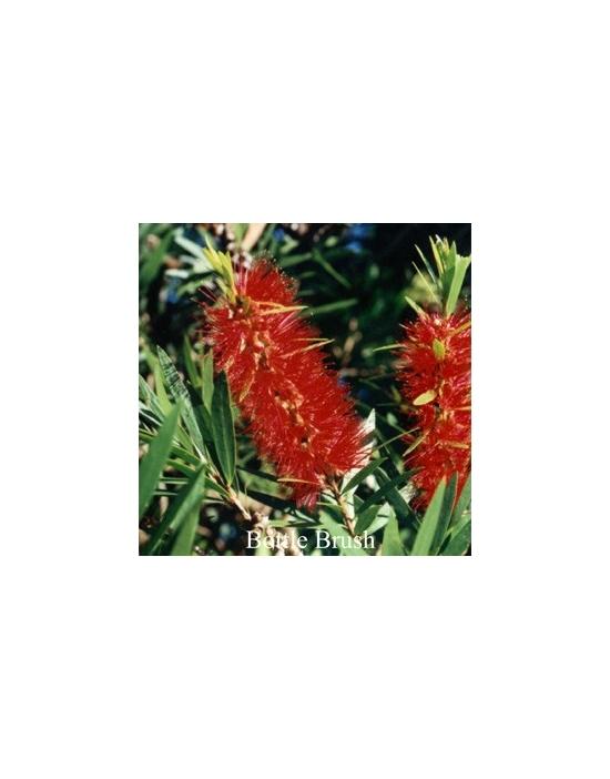 Bottlebrush Australische Buschblüten