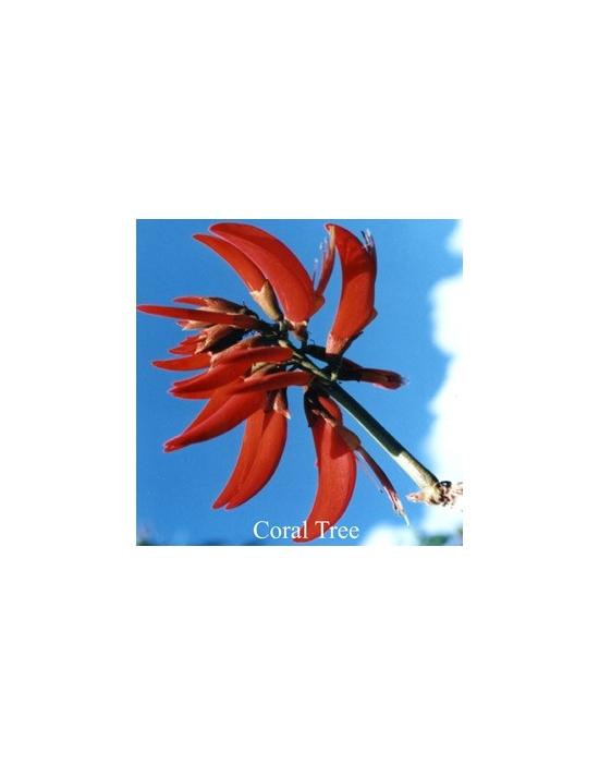 Coral Tree fiore