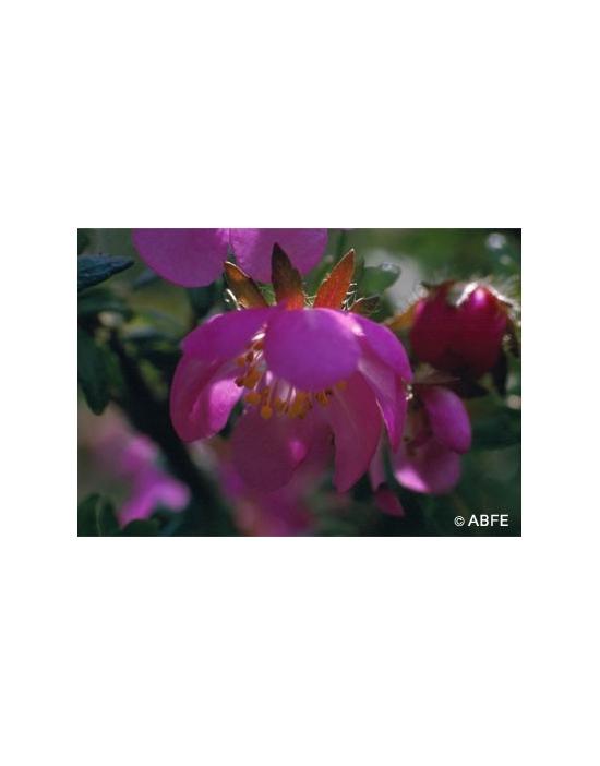 Australische Buschblüten Dog Rose