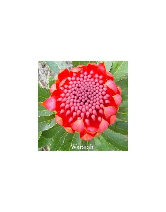 Waratah Australische Buschblüten Australian Flower Essences