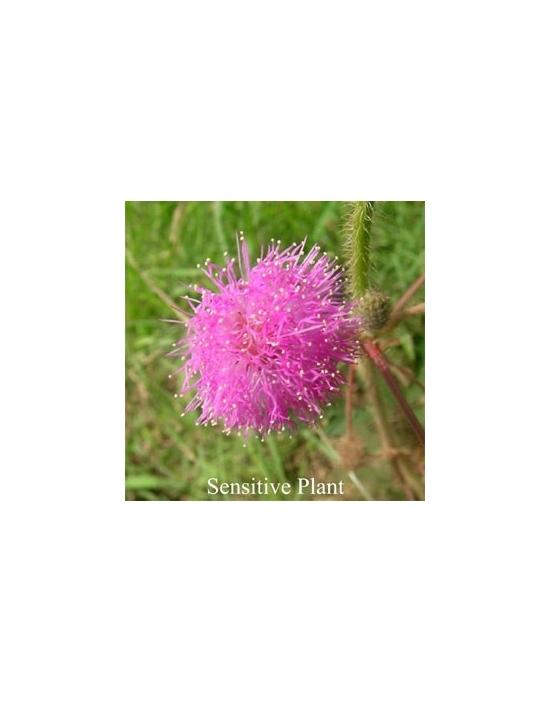 Sensitive Plant Australische Buschblüten
