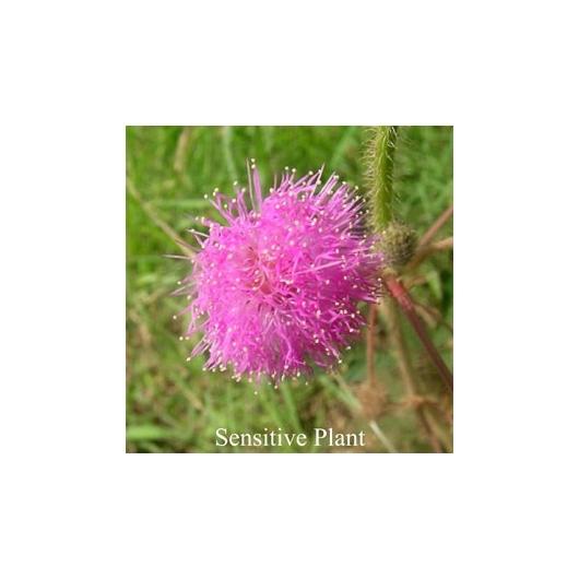 Sensitive Plant Blütenessenzen Love Remedies