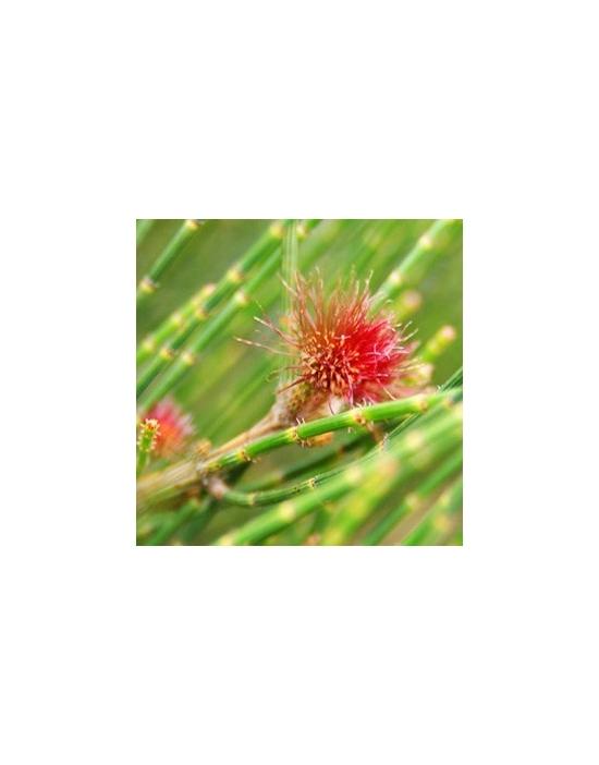 Australische Blütenessenzen She Oak Female der Australian Flower Essences