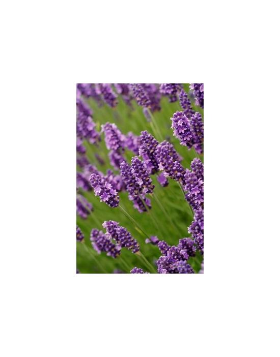 Bio Lavendelwasser Hydrolat ohne Zusätze