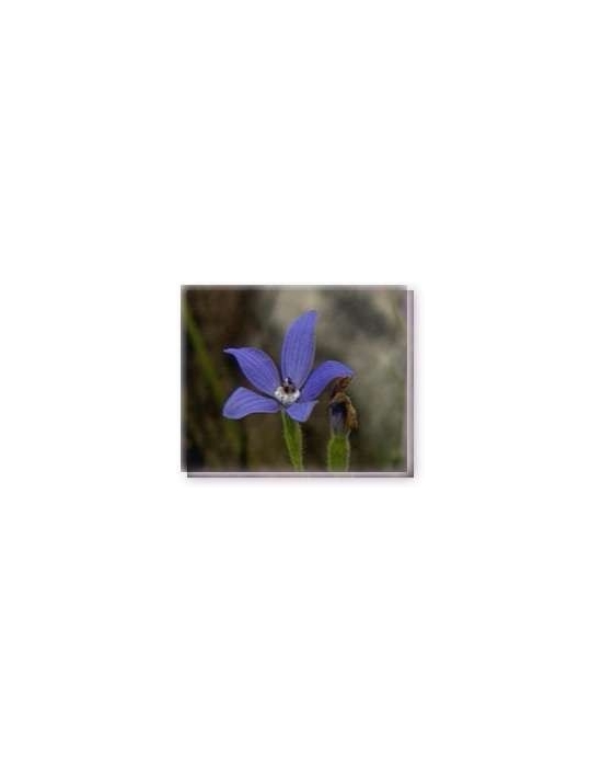 Fiore Blue China Orchid Living Essences