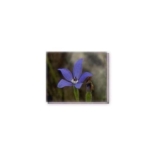 Bachblüten Blue China Living Essences