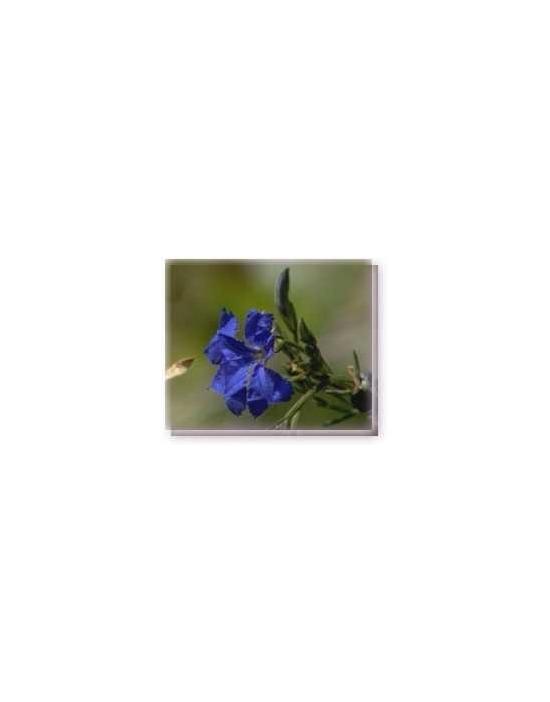 Bachblüten Blue Leschenaultia Linving Essences