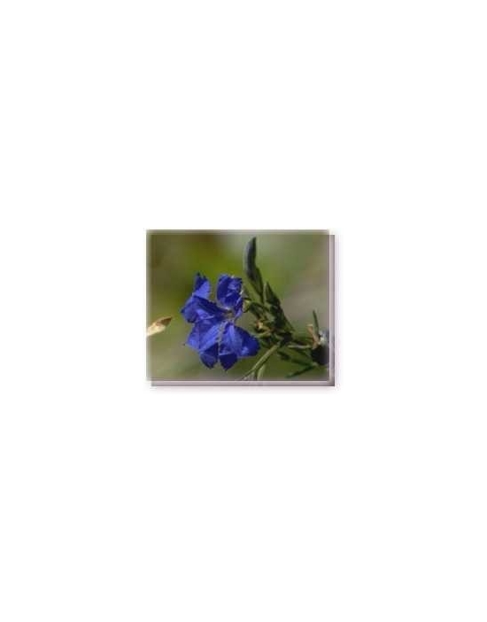 Fiore Blue Leschenaultia Living Essences