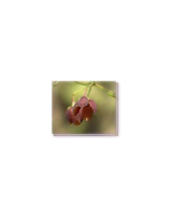Bachblüten Brown-Boronia Essences