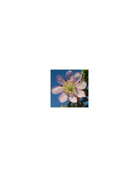 Australian Flower Essences DOG ROSE  15 ml Love Remedies