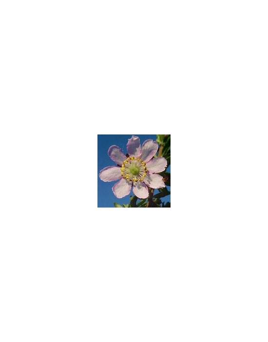 DOG ROSE Australian Flower Essences fiore