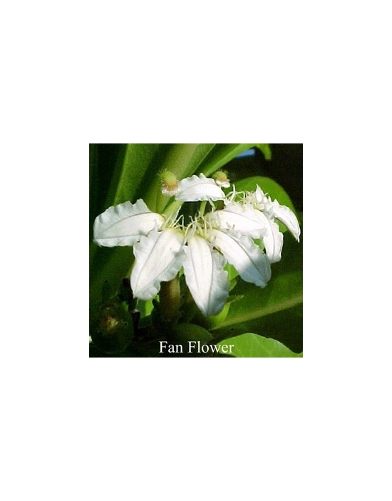 FAN FLOWER Australian Flower Essences fiore