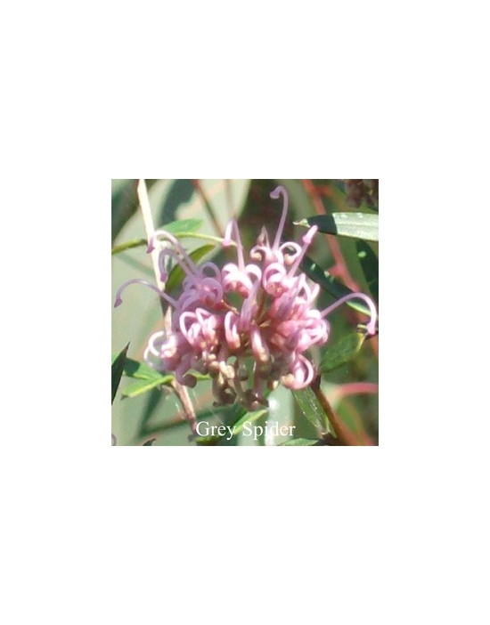 Grey Spider Buschblüten Australian Flower Essences Love Remedies