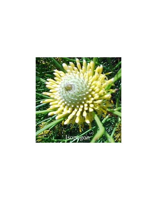 ISOPOGON 15 ml Australian  Flower Essences fiore