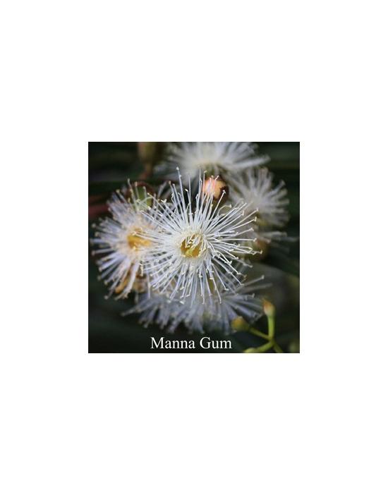 Manna Gum Australische Buschblüten