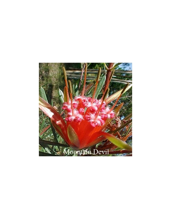 MOUNTAIN DEVIL Australian Flower Essences 15 ml Love Remedies