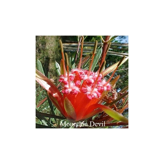 MOUNTAIN DEVIL Australian Flower Essences 15 ml Love Remedies
