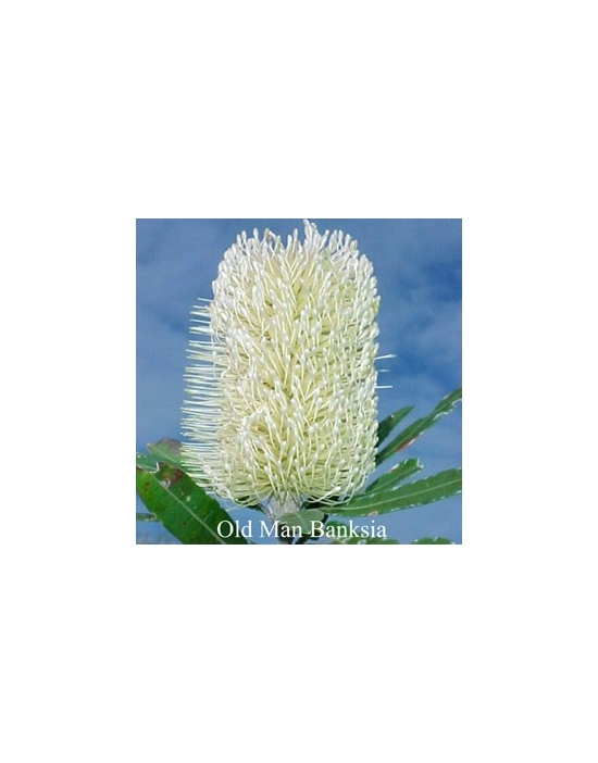 OLD MAN BANKSIA Australian Flower Essences 15 ml Love Remediess