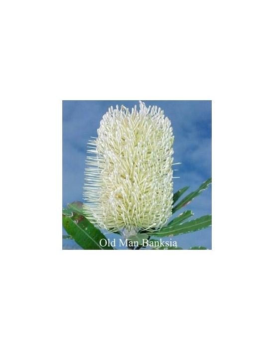 Old Man Banksia Australische Buschblüten von Love Remedies