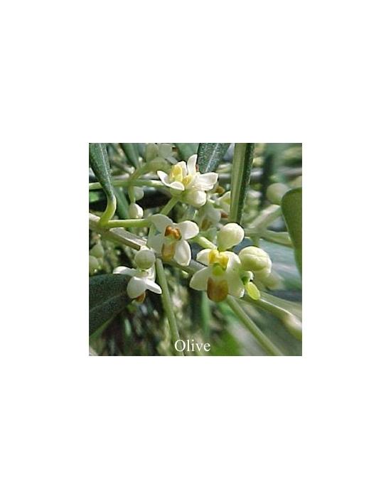 Olive Australische Buschblüten