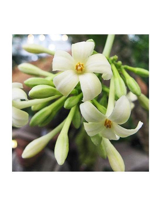 Papaya / Paw Paw Australische Blütenessenzen von Love Remedies