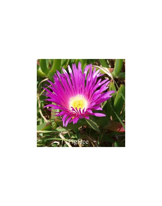 PIGFACE 15 ml Australian Flower Essences fiore