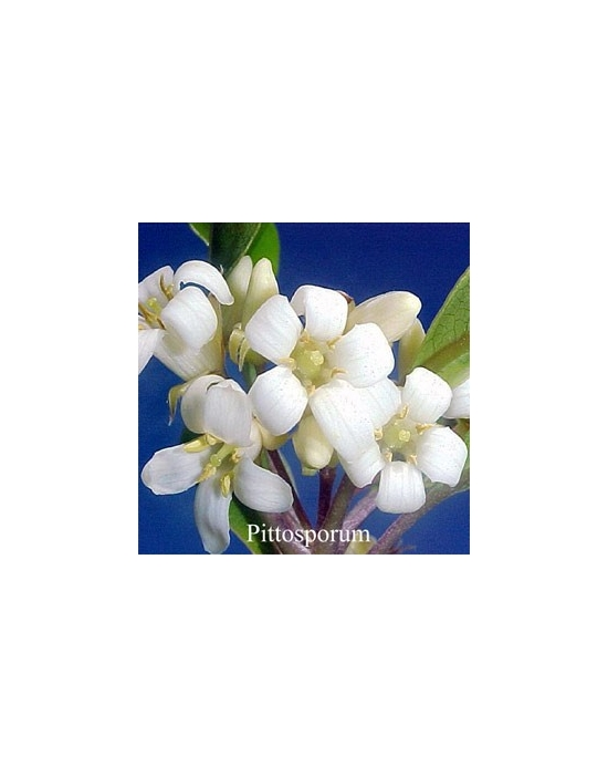 PITTOSPORUM 15 ml Australian Flower Essences fiore