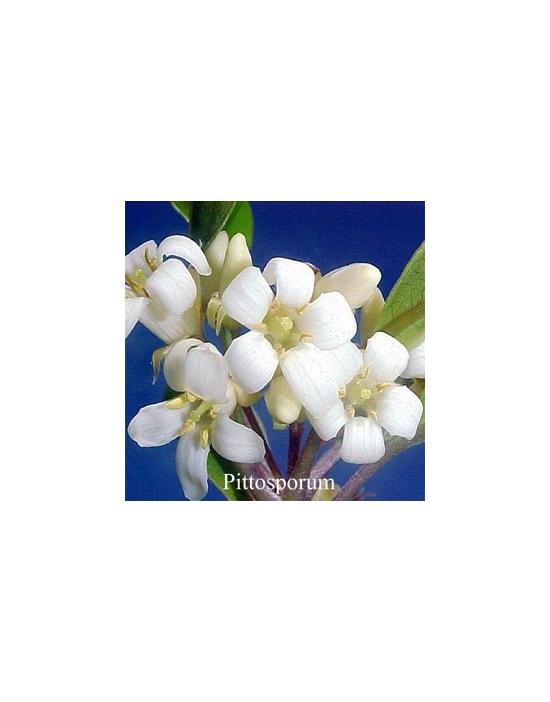 PITTOSPORUM Australische Buschblüten