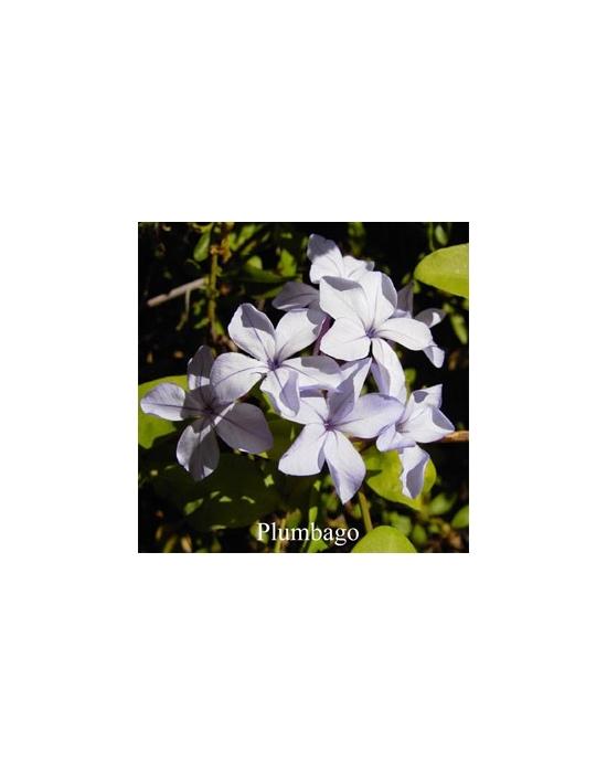 Plumbago Flower