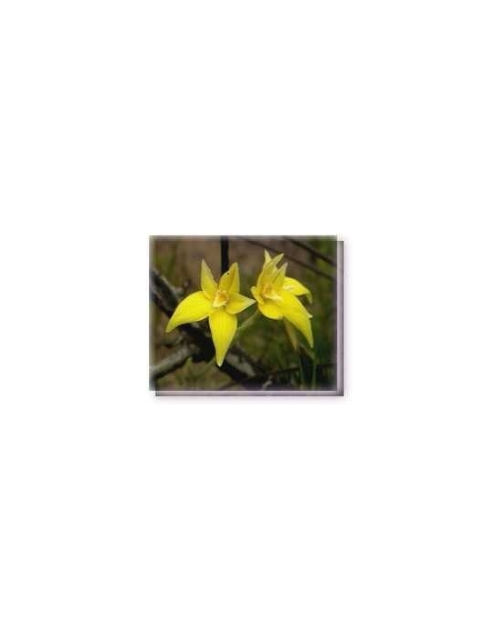 Bachblüten Cowslip Orchid Living Essences