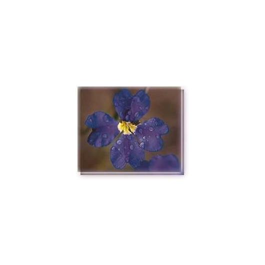 Bachblüten Dampiera Linving Essences