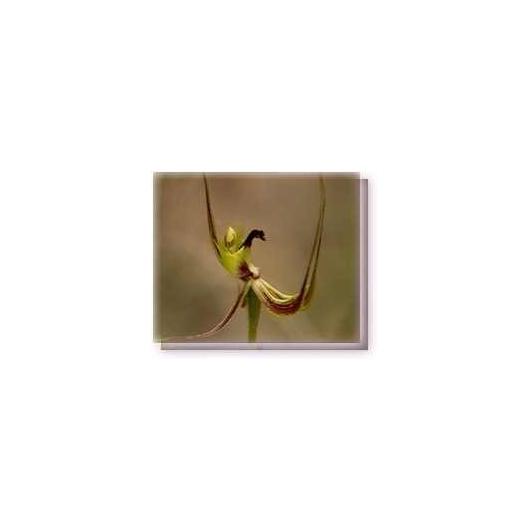 Bachblüten Fringed Mantis Orchid Living Essences Stockbottle