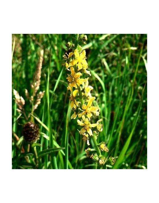Bio Bachblüten Agrimony / Odermennig Nr. 1