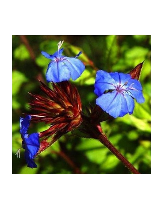 Bio Bachblüten Tropfen Nr. 5 Cerato / Bleiwurz