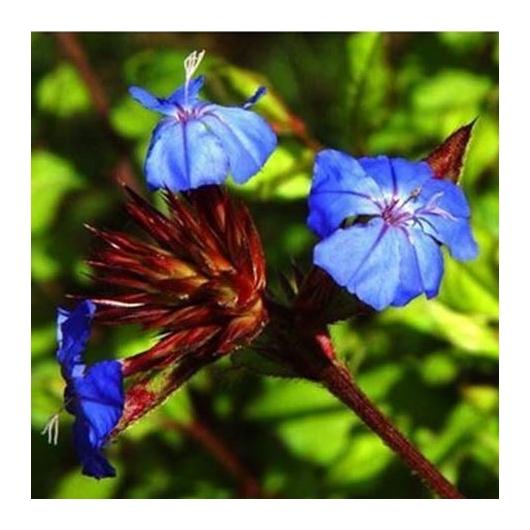 organic Bach Flower Remedies No. 5 Cerato