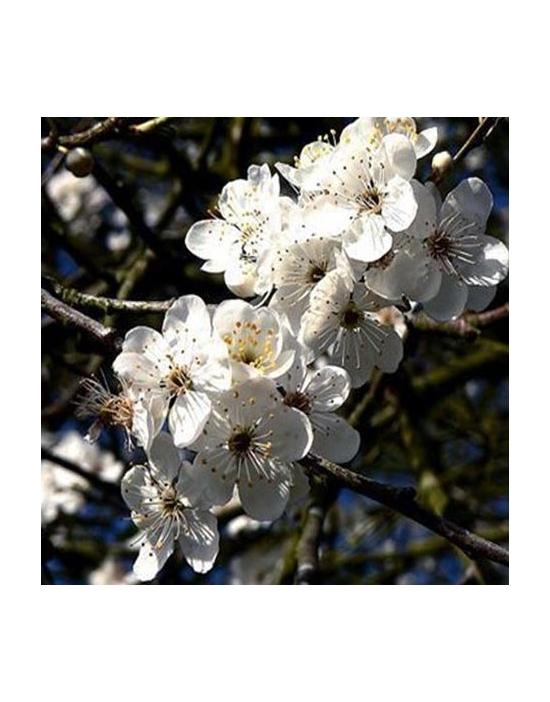original englische Bio Bachblüten Tropfen Nr. 6 Cherry Plum / Kirschpflaume