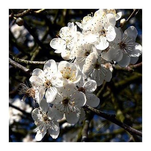 No. 6 organic Bach Flower Remedies Cherry Plum