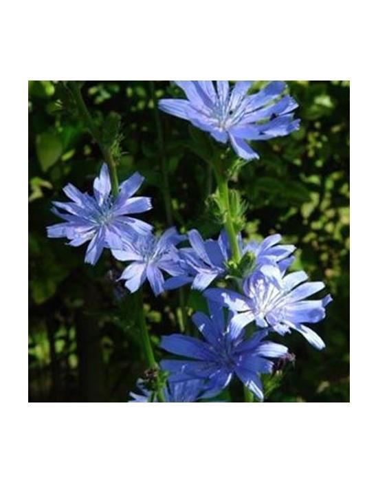 Bio Bachblüten Tropfen Nr. 8 Chicory / Wegwarte