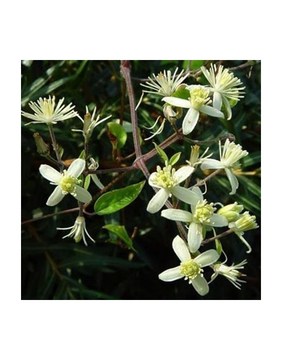 Clematis organic Bach Flower Remedies No. 9