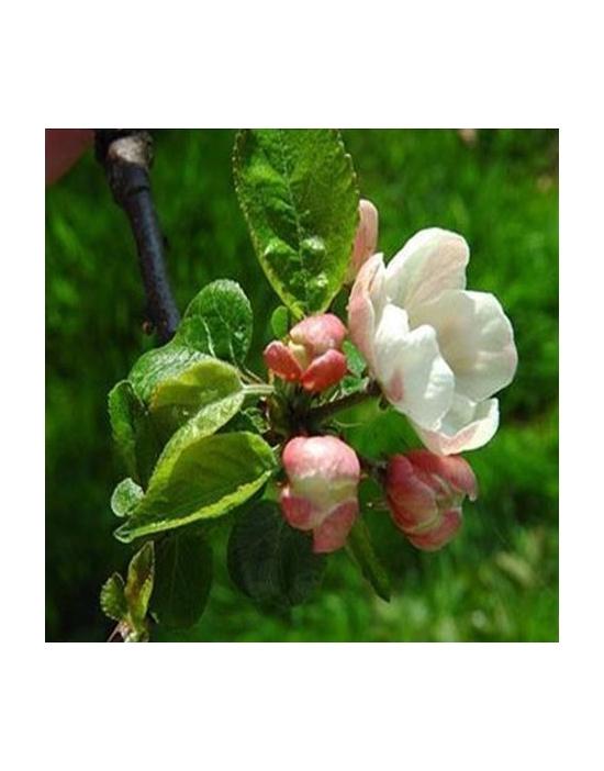 Floriterapia Crab Apple Nr. 10 Fiori di Bach BIO