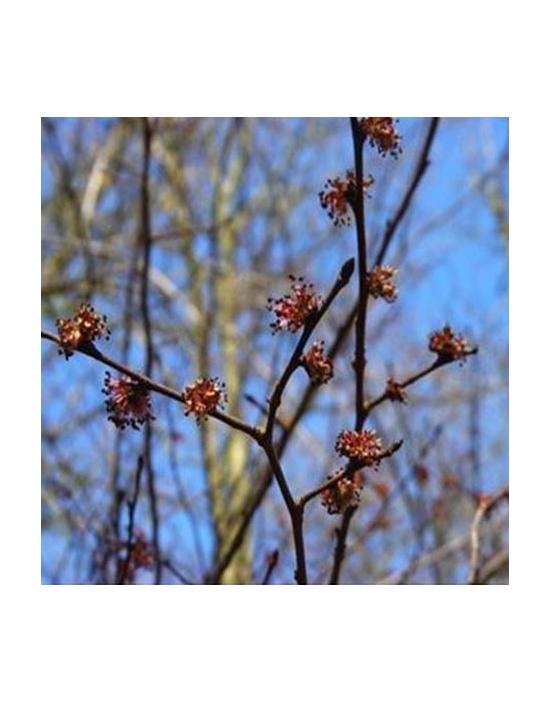 Bio Bachblüten Tropfen Nr. 11 Elm / Ulme