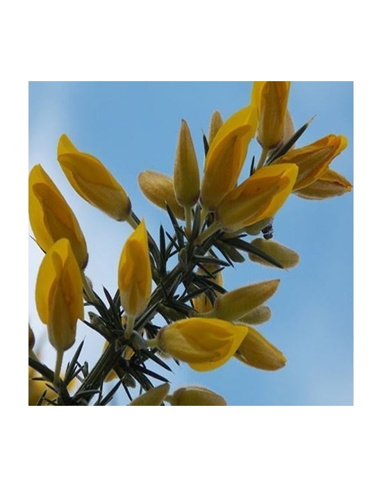 organic Bach Flower Remedies No. 13 Gorse