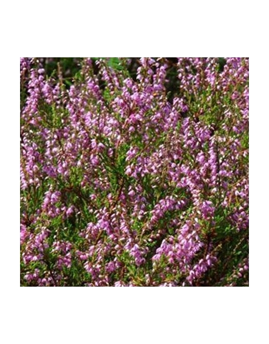 Floriterapia Heather Nr. 14 Fiori di Bach BIO