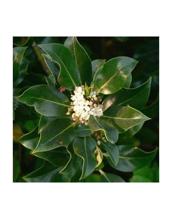 Floriterapia Holly Nr. 15 Fiori di Bach BIO