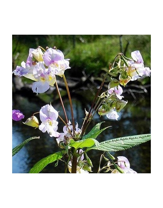 Impatiens organic Bach Flower Remedies No. 18