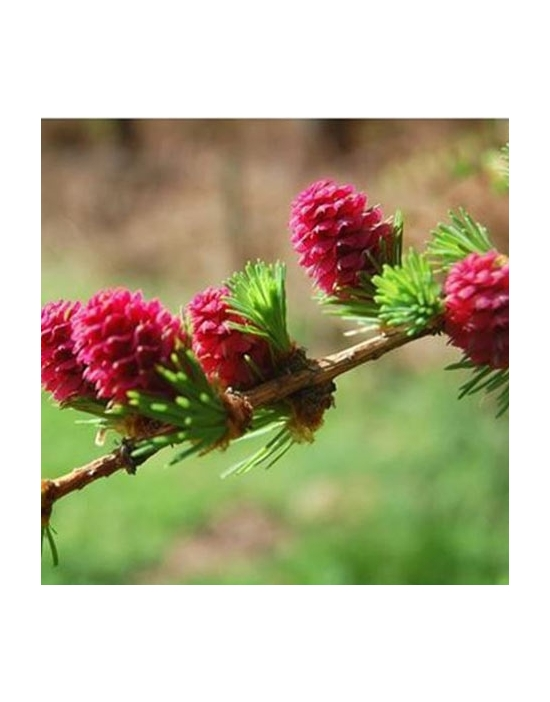 Larch organic Bach Flower Remedies No. 19