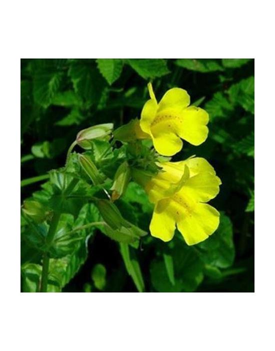 Mimulus Bio Bachblüten Nr. 20 Gauklerblume