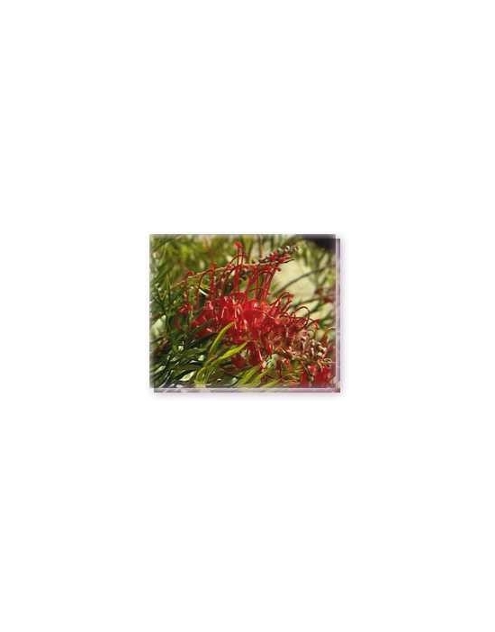 Bachblüten Fuchsia Grevillea Living Essences Stockbottle