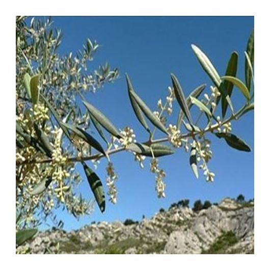 Bio Bachblüten Tropfen Nr. 23 Olive